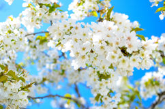 Spring. Cherry flowers on beautiful spring day, blue sky and lovely white flowers on sunshine, blooming branch Royalty Free Stock Photography