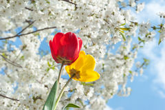 Spring. Cherry and tulips in full bloom in spring Stock Images