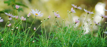 Spring. Image of daisies in a field stock photo