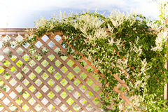 Spring. Silverlace vine over a fence, spring garden in the background Royalty Free Stock Images