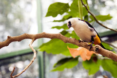 White-headed Buffalo Weaver Stock Photos