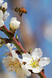 Spring #3. The bee over flowers and trees Stock Image