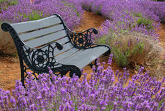 Spring. A bench in a lavender field Stock Photo