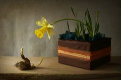 Spring. Narcissus, bulb, flower, still life, spring Royalty Free Stock Images
