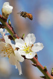 Spring. The bee over flowers and trees Royalty Free Stock Photography