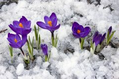 Spring. Crocus flowers blooming through the melting snow Stock Photo