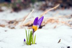 Spring. Purple crocuses through the snow Royalty Free Stock Photos