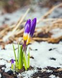 Spring. Purple crocuses through the snow Stock Photography