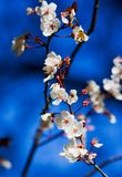 Spring. Cherry flowers at spring time Stock Photography