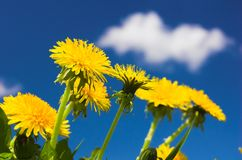 Spring. Yellow spring flowers and blue sky stock photography