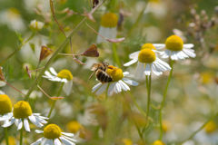 Spring. Image of spring flowers and bee Royalty Free Stock Images