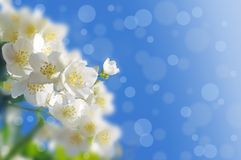 Spring abstract background. Jasmine blossoms vector illustration
