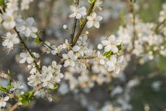 Spring abstract background of blossoming cherry. Spring time, branch of Cherry blossom.  royalty free stock images