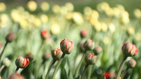 Spring abstract background, landscape - tulips on a law. Spring landscape - beautiful tulips against the background of green grass. Spring abstract background stock footage