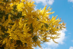 Spring Acacia dealbata with buds Stock Photography