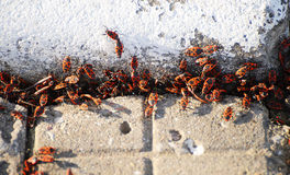 Spring, accumulation of beetles. Bug-soldier. Spring accumulation of bugs on the sidewalk Royalty Free Stock Photography