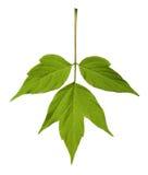 Spring acer negundo leaf Stock Image