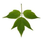 Spring acer negundo leaf. Isolated on white background Royalty Free Stock Photos