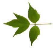 Spring acer negundo leaf on white background Royalty Free Stock Photo