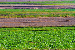 Spring agricultural fields with green plants and fallow plowed Royalty Free Stock Photos
