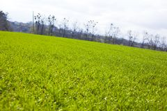 Spring agricultural green fields of young wheat crops. grass field of wheat germ stock images