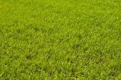 Spring agricultural green fields of young wheat crops. grass field of wheat germ royalty free stock images