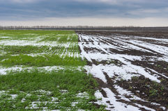 Spring agricultural landscape with winter crops Stock Image