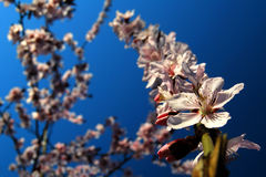 Spring is in the air. Apricot flowers basking in the sun Stock Photos