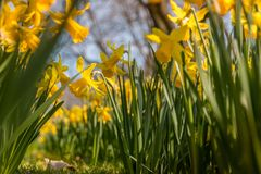 Spring is in the air with beautiful Daffodills royalty free stock photos