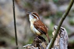 Spring is in the air, a Corolina Wren calling for a mate. One of the smallest birds, Carolina Wren, has the loudest voices when calling for a mate stock photo