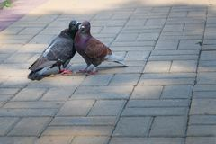 The spring is in the air and love is everywhere pigeons kissing and mating royalty free stock photos