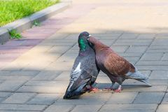 The spring is in the air and love is everywhere pigeons kissing and mating stock photography