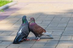 The spring is in the air and love is everywhere pigeons kissing and mating royalty free stock photo