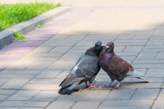 The spring is in the air and love is everywhere pigeons kissing and mating stock image