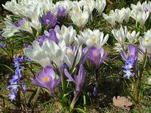 Lilac and White Crocus Beautiful Flowers Wonderful Spring Crocus in City Park on green grass. Spring in air quotes ,in  park ,Spring Flowers Wonderful Crocus in royalty free stock image