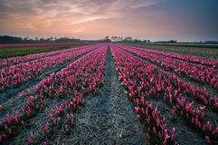 Spring is in the Air. The Tulipfields of Lisse, the Netherlands Royalty Free Stock Images