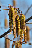 Spring. Alder catkins closeup Royalty Free Stock Image