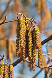 Spring. Alder catkins closeup Royalty Free Stock Photos