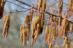 Spring. Alder catkins closeup Stock Photography