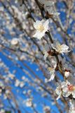 Spring almond blossom Stock Photography