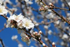 Spring almond blossom in full bloom Royalty Free Stock Photos