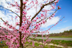 Spring almond tree flowers in Sierra de Espadan Castellon Stock Photos