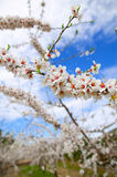 Spring almond tree flowers in Sierra de Espadan Castellon Royalty Free Stock Images