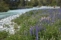Spring along the Carretera Austral in northern Patagonia, Chile. Spring in Patagonia. Lupins flowering on the banks of the Rio el Canal along the Carretera stock photography
