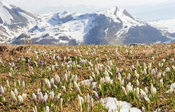 Spring in Alps. First flowers in the Alps Royalty Free Stock Photo