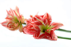 Spring Amaryllis. Fresh and lovely red and white amaryllis. With copy space. Fit for easter, spring occasions, etc. design stock images
