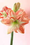 Spring Amaryllis. Fresh and lovely red and white amaryllis over soft pink background. With copy space. Fit for mothers day, easter, spring occasions, etc. design stock photos