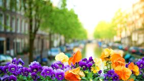 Spring in Amsterdam. Beautiful heartseases and canal in the background (focus on flowers Royalty Free Stock Images