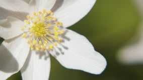 White anemone. Spring flower, blooming in the open air, in the woods. Spring anemone with white petals on blurred background, one flower swinging in the wind stock video footage