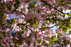 Spring apple bloom. Sunlit pink flowers of decorative tree against clear blue sky Stock Photography